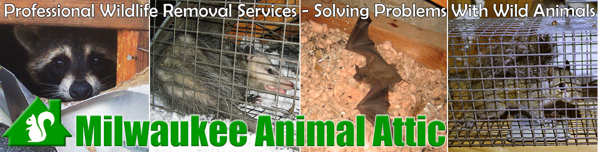 West Allis Abbr Wildlife Pest Control Removal Of Animals In Attic Wisconsin